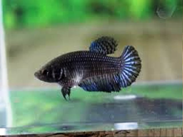 Joe 39 s aquaworld for exotic fishes mumbai india 9833898901 for Elephant ear betta fish