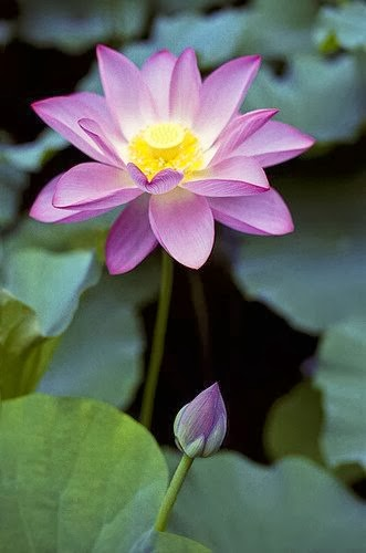 how to grow lotus flower at home