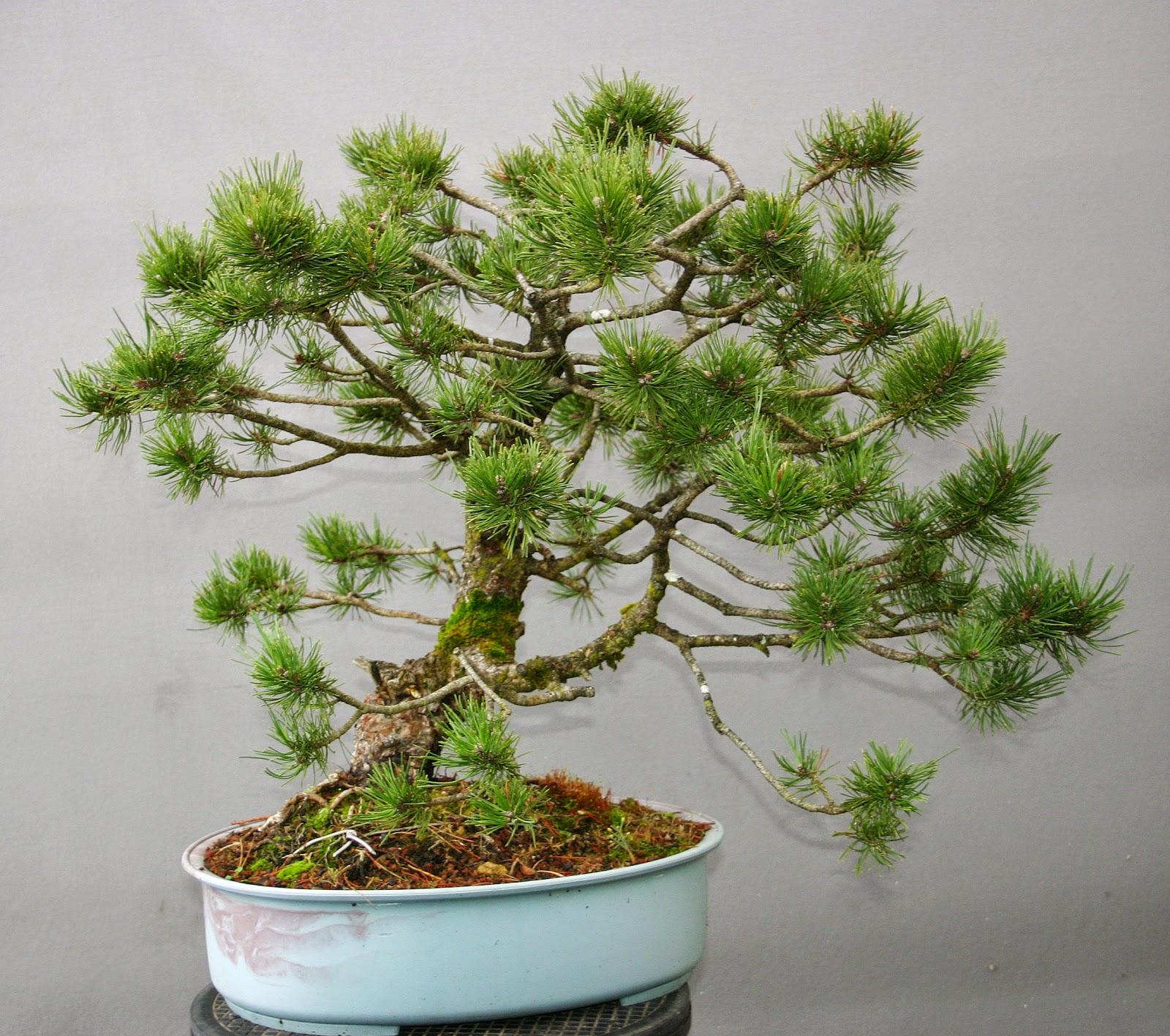 Profession bonsa il reste quelques arbres bonsa yamadori en vente l 39 arbre aux papillons - Bonsai arbre prix ...