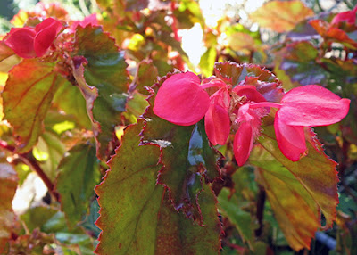 Closeup of Red Begonia with Red and Gold Leaves