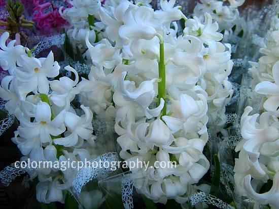 White Hyacinth-Hyacinthus orientalis