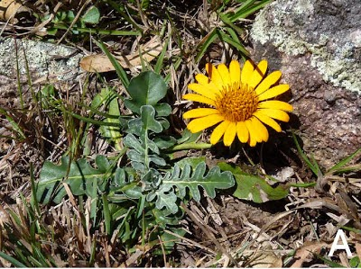 http://sciencythoughts.blogspot.co.uk/2012/09/new-species-of-daisy-from-brazil.html