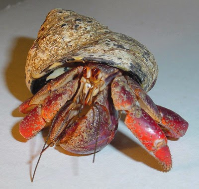how to sex a hermit crab