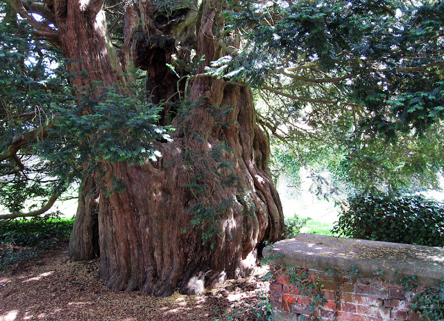 Ancient yew tree, Taxus baccata, in Cudham churchyard.  Ups and Downs walk led by Ewa Prokop, 21 June 2011.