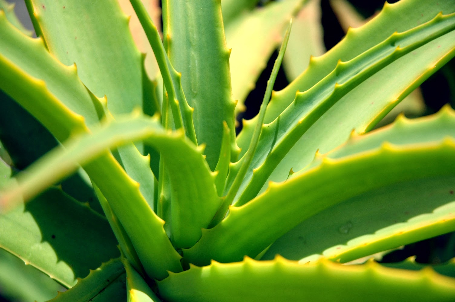 Use Aloe for burn relief.