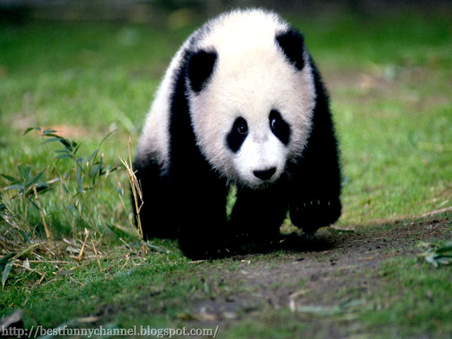 Panda while running.