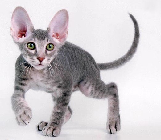 Cats Chaos And Confusion Cat Breeds That Don T Shed As