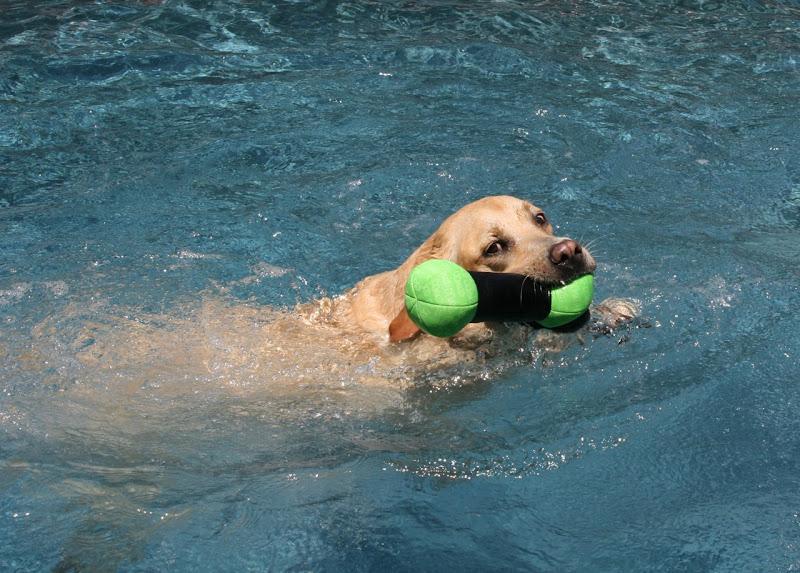 Labrador pool toy