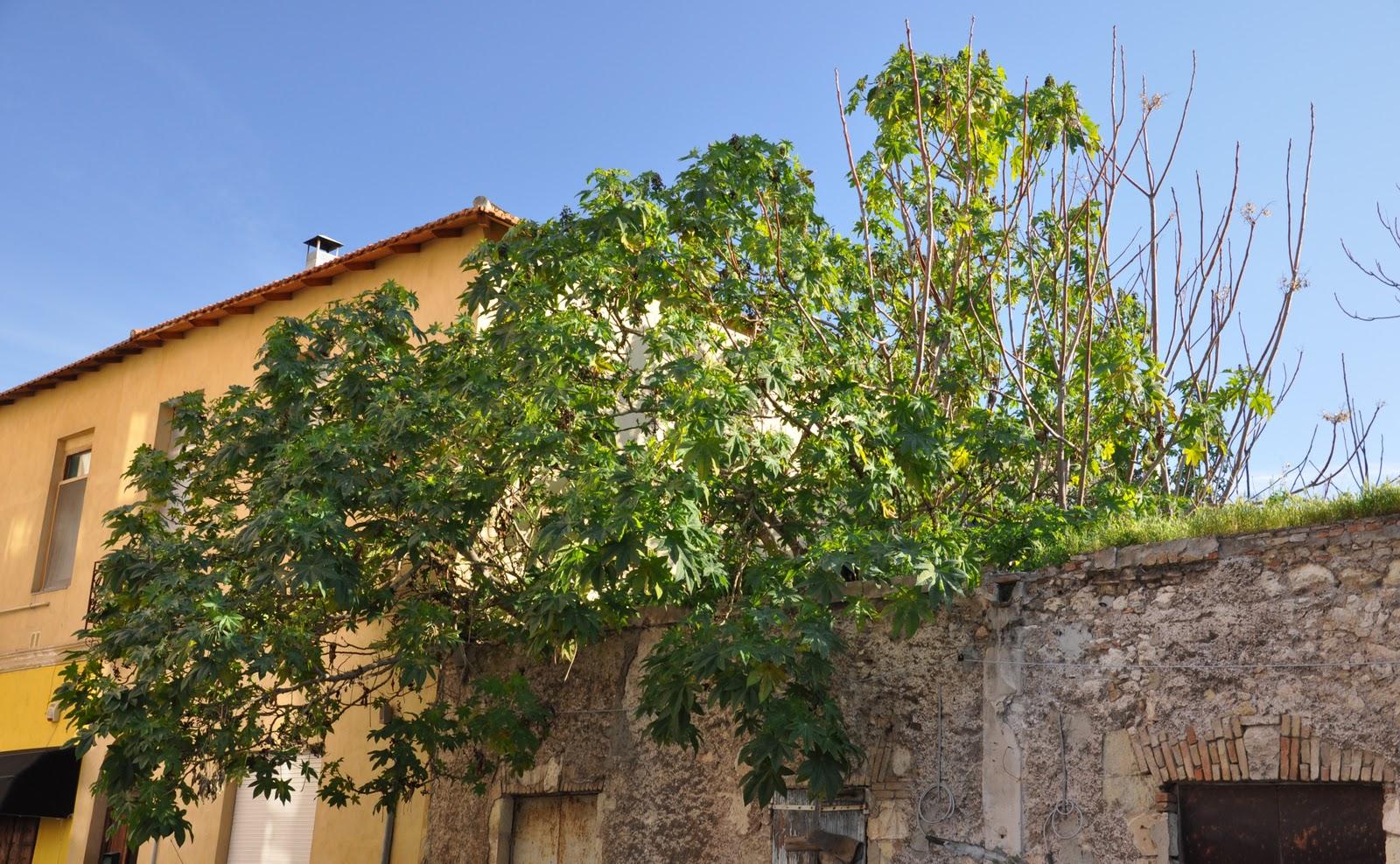 Cagliari in verde il ricino - Alberi da interno ...