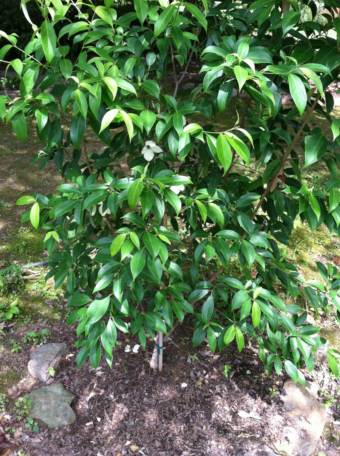 Garden musings from memphis area master gardeners july 2015 cornus angustata empress of china sciox Image collections