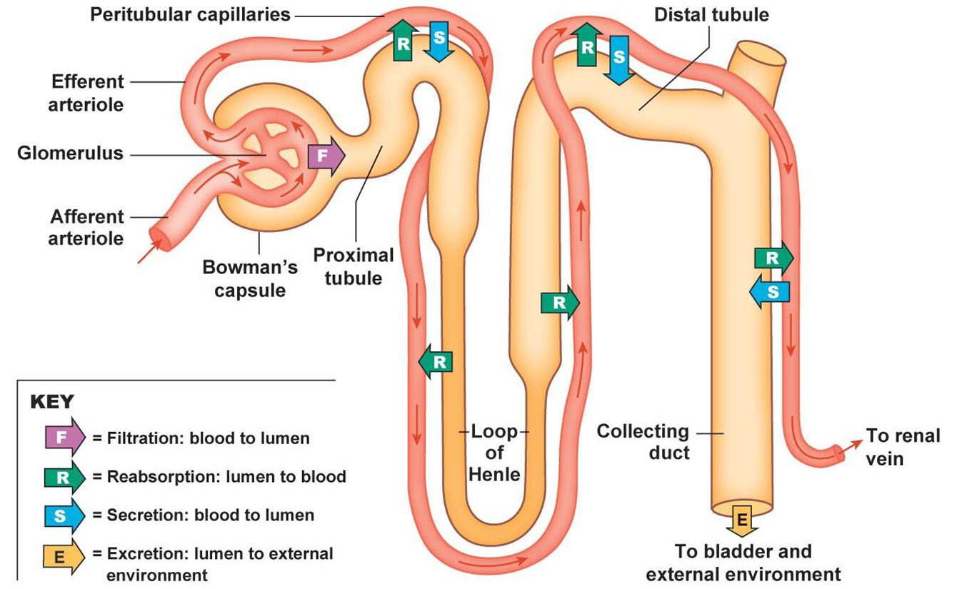 Renal Physiology Fluid And Electrolyte