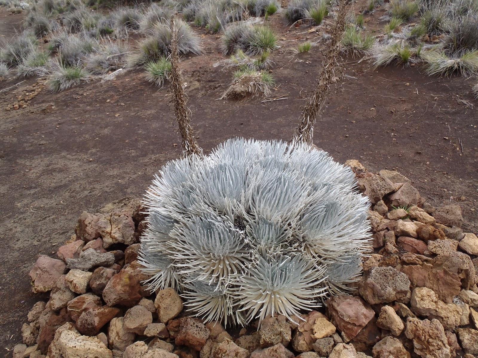 Silver Sword Plant Mauna Kea