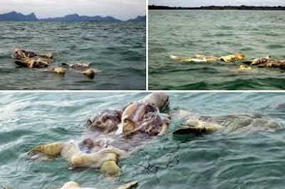 More dead sea turtles off Semporna