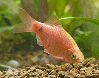 Fish aquarium delhi aquariums fish tanks supplier for Gold barb fish