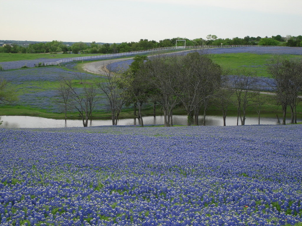 Bluebonnet Wallpaper