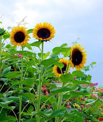 Coleccionista de girasoles - Flores grandes y hermosas - Sunflowers