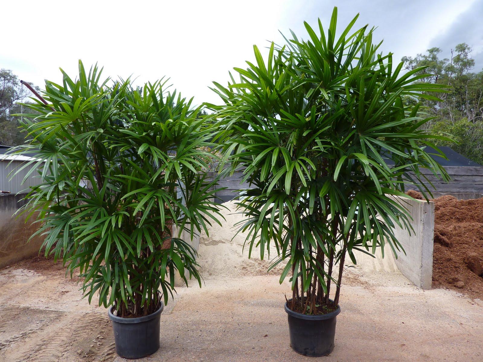 Rhapis palm - Macetas para interiores ...