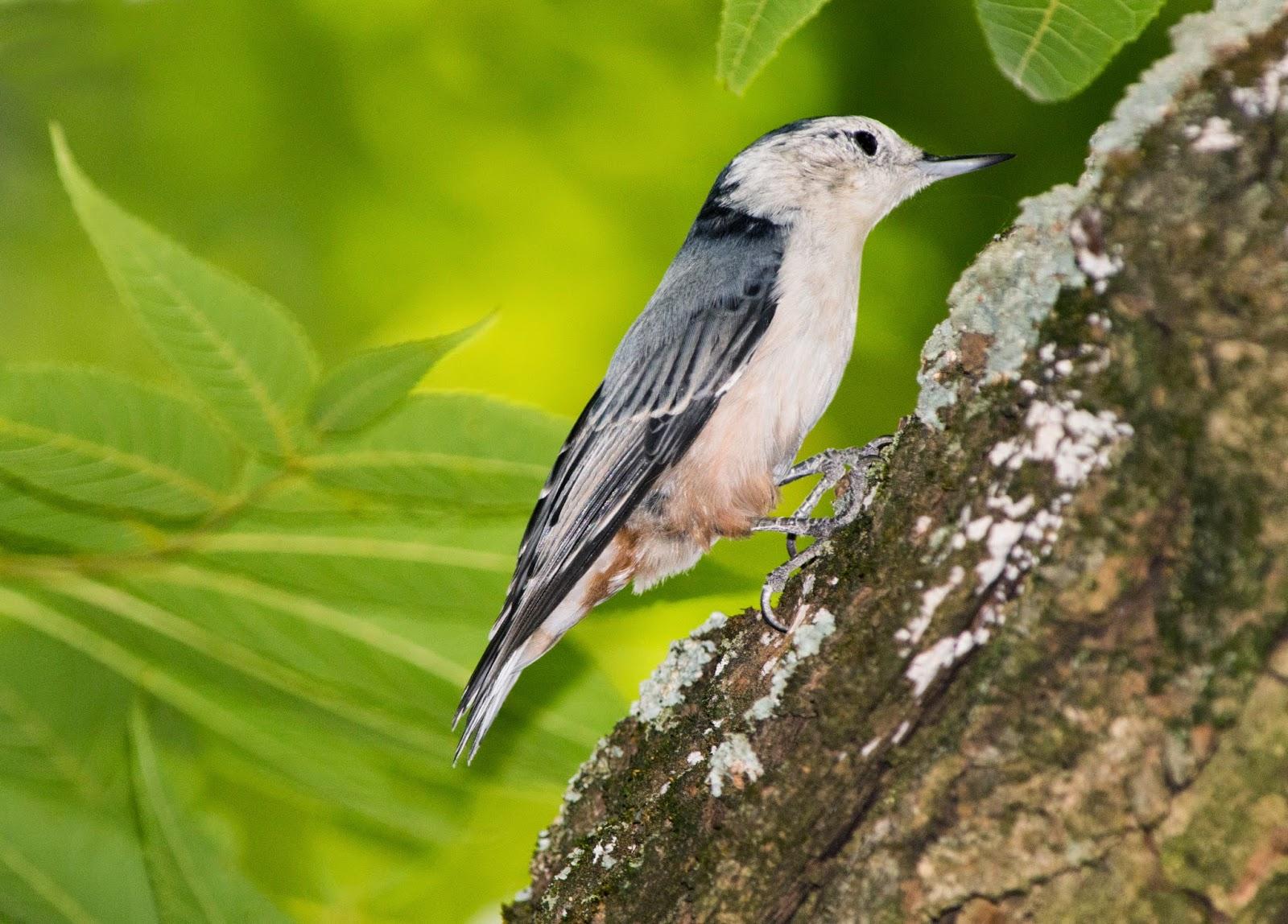 Breanna's Birding Blog: Backyard Birds, Maryland - August ...