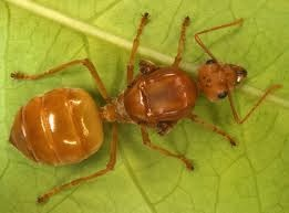 ratu semut