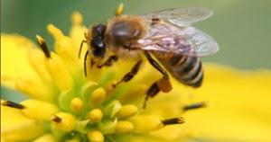 Nawaites Idnef Seorang Mukmin Itu Seperti Lebah