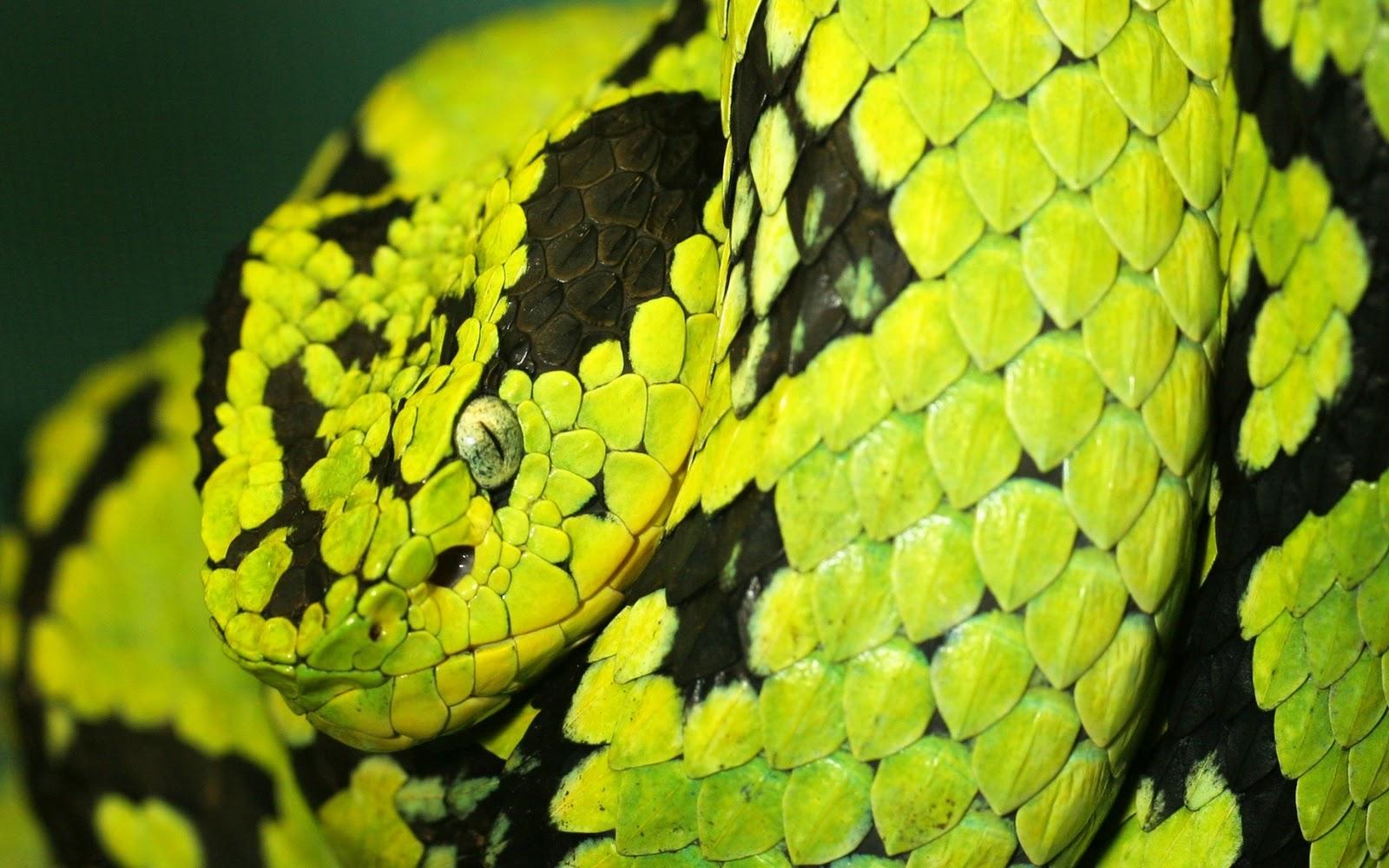 The best top desktop snake wallpapers hd snakes wallpaper 17 green