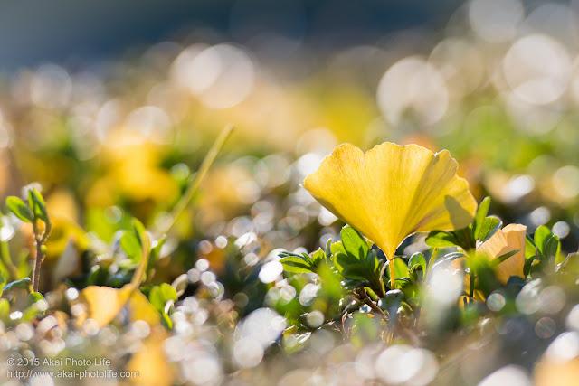 植木に落ちていた銀杏の葉のまわりに綺麗な玉ぼけが写った写真