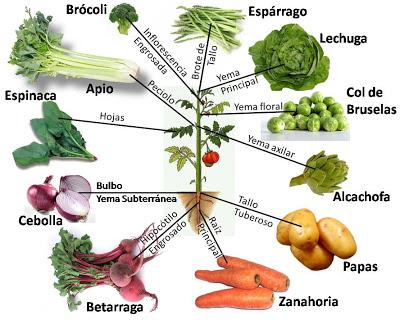 Plantas comestibles plantas alimenticias - Verduras lista de nombres ...