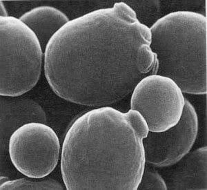 Levaduras Ale vistas por un microscopio