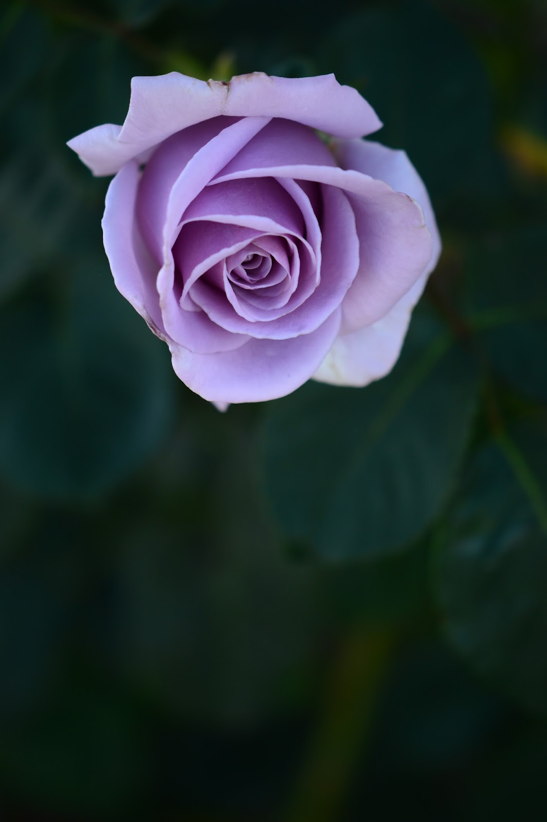 "Rose ""Sterling Silver"", amy myers photography"