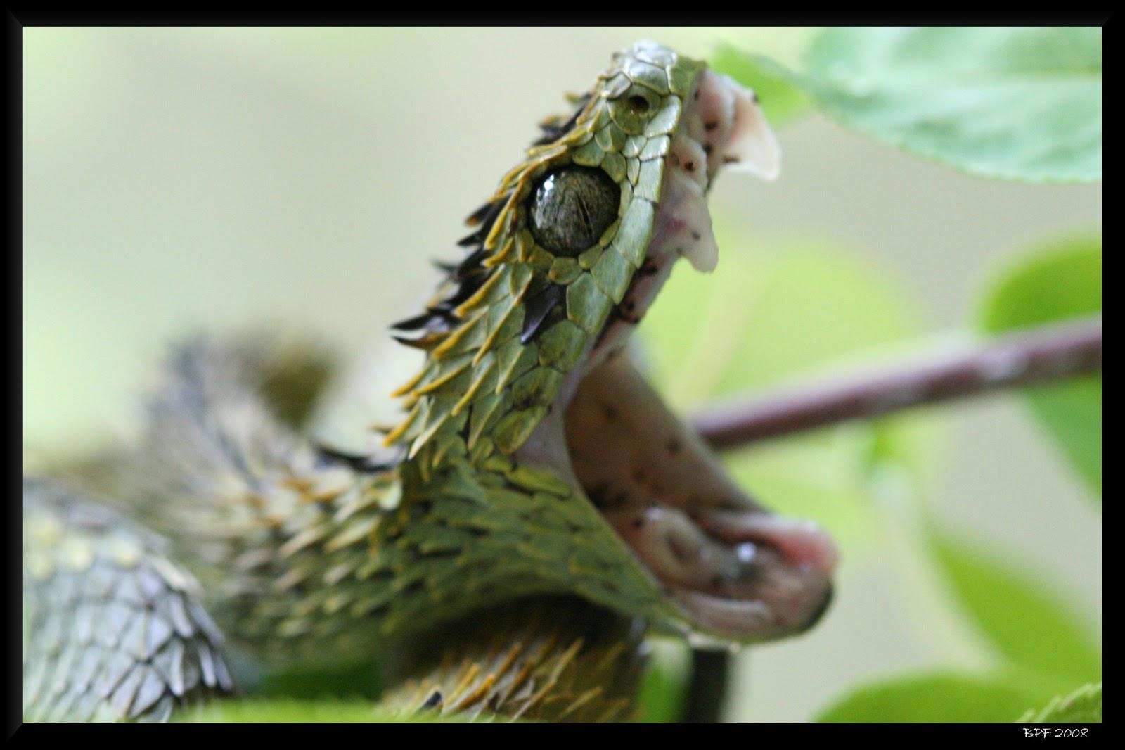 The bush viper