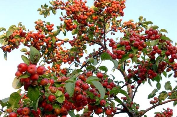 cuidados manzano ornamental 'evereste', malus árbol | verde jardín