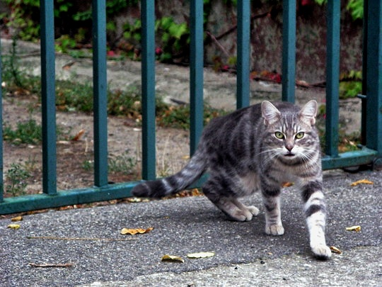 Cat from Cucugnan, France