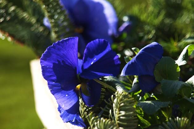 En hurtig og billig måde at få blomster i haven i marts