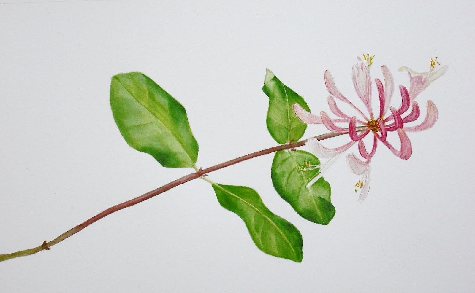 Honeysuckle Flower Line Drawing : Drawings of botanical things honeysuckle