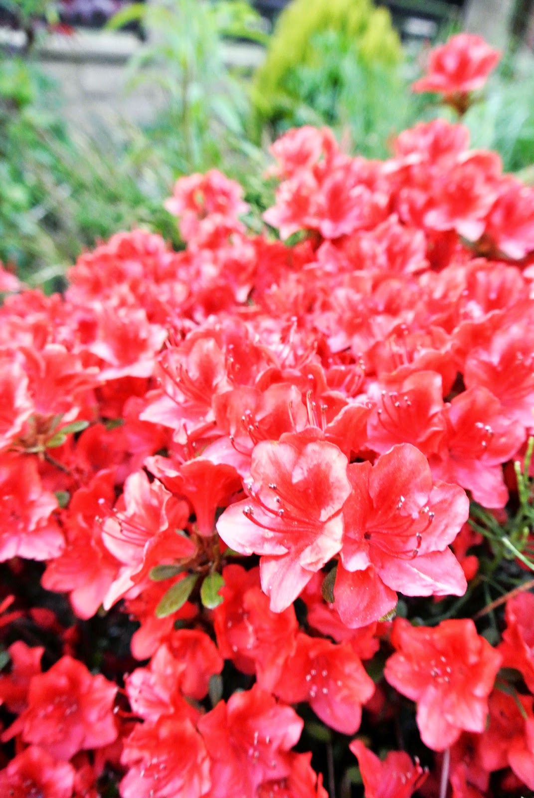 azalie zima,czy azalie trzeba okrywać,jak dbać o azalie,jak dbać o różaneczniki,gdzie kupować azalie