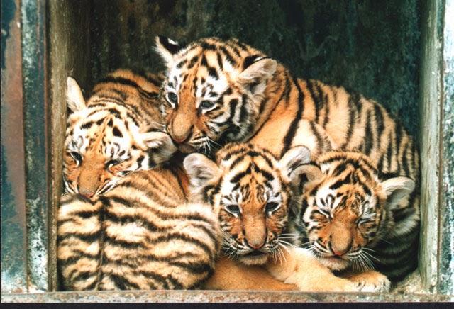 Vítejte u Tygra