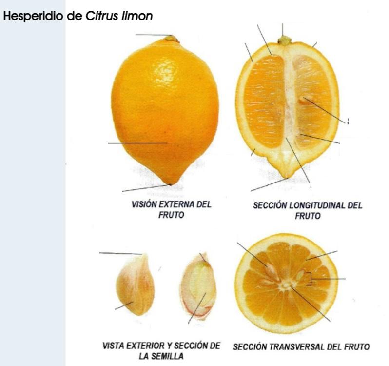 Lujoso Anatomía De Un Limón Bosquejo - Anatomía de Las Imágenesdel ...