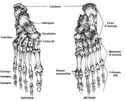 Anatomia huesos del pie for Cuarto y quinto metatarsiano