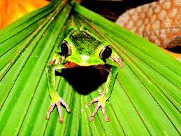 frog in amazon forest