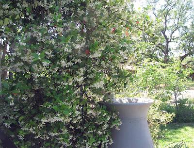 Annieinaustin,Confederate jasmine & rainbarrel