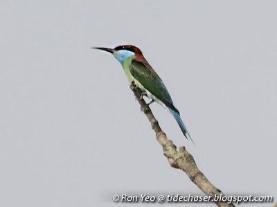 Blue-throated Bee-eater (Merops viridis)