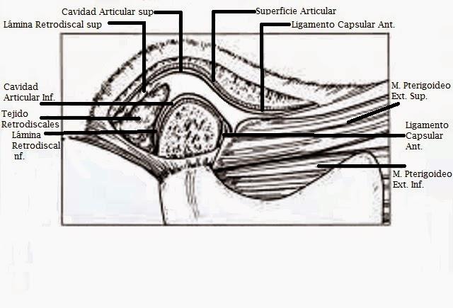 Oclusión en Odontología: Articulación Temporo - Mandibular