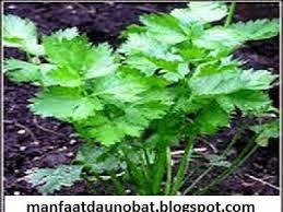 manfaat khasiat daun seledri