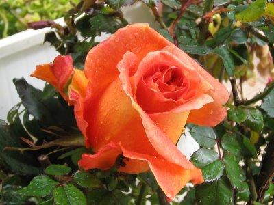 Recuerdos de la abuela e hijo significado de las rosas - Significado rosas blancas ...