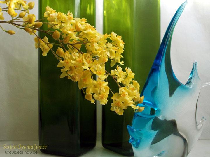 Oncidium Twinkle 'Yellow Fantasy'