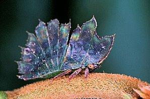 Mini Monstres - Les Membracides  Membracide-15