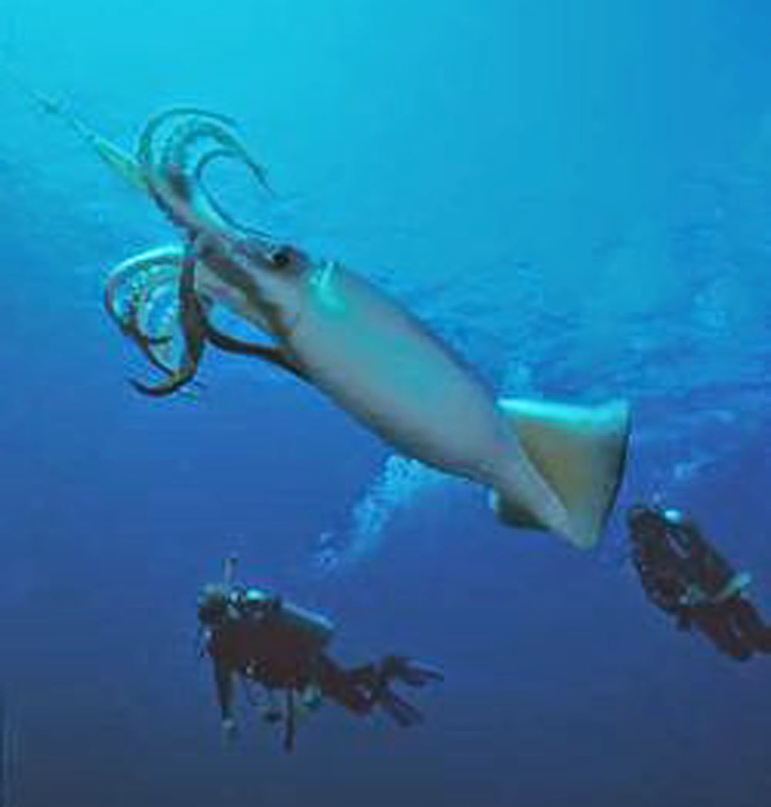 humboldt squid pictures