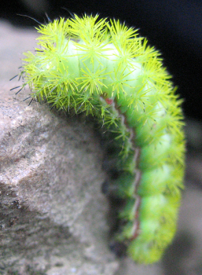 The Io Moth Caterpillar
