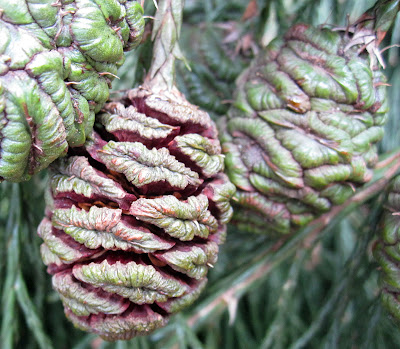 Leaves and cones of a Wellingtonia, Sequoiadendron giganteum. 18 February 2012.