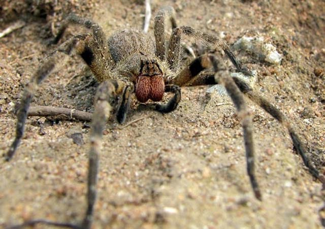 Araña errante (Phoneutria sp.)